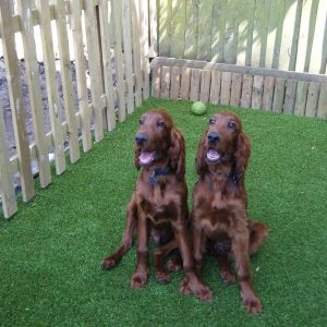 Two chocolate Labradors on artificial grass.
