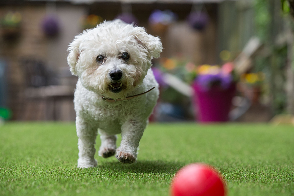 artificial grass with dog chasing a ball